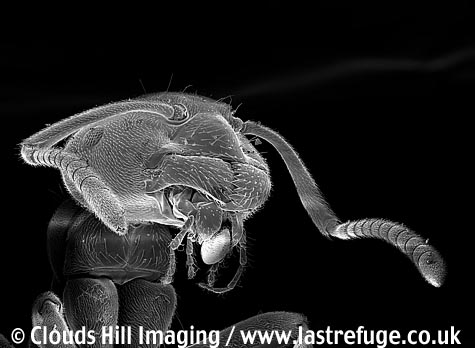 Black garden ant (Lasius niger) holding aphid egg in jaws.