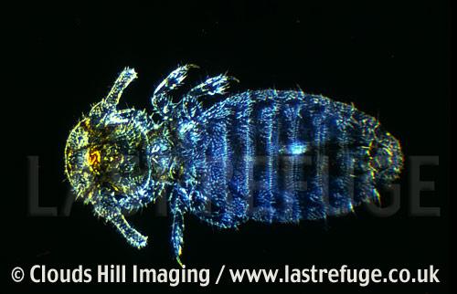 Bird louse, darkfield microscopy