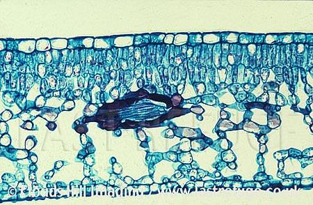 prunus leaf cross section showing air spaces between cells