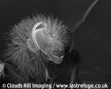 Bumblebee (Bombus terrestris) portrait