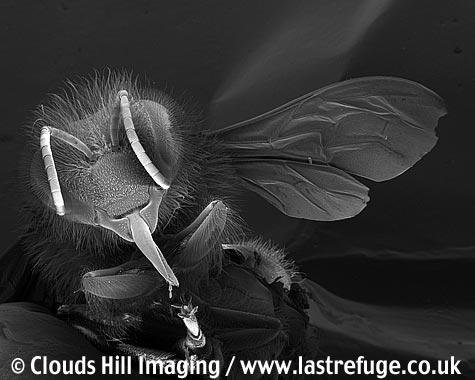 Honey bee (Apis mellifera) portrait showing proboscis and tongue extended