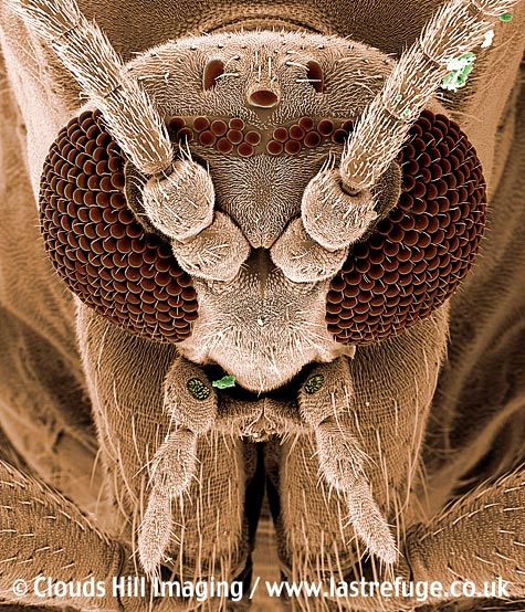 Fungus gnat (Bradysia paupera) portrait insect eyes antenna. Coloured