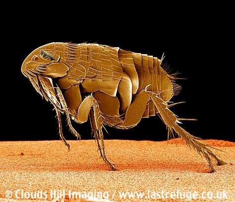 Cat flea (Ctenocephalides felis) parasite insect. Coloured image
