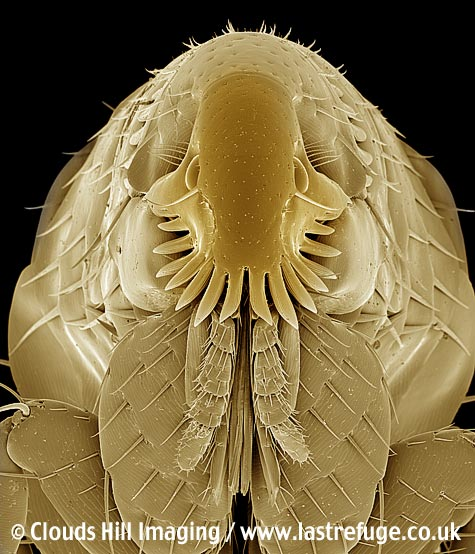 Cat flea (Ctenocephalides felis) parasite insect. Coloured image