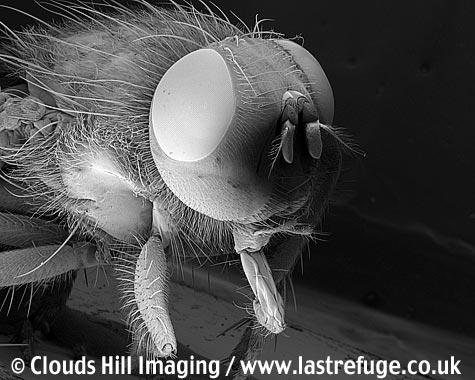 Housefly (Musca domestica) disease carrying pest.