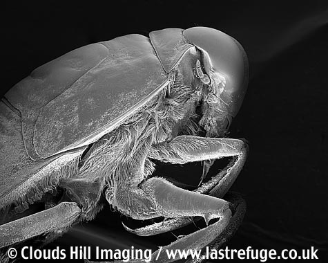 Water boatman (Nepa cinerea) inverted. Pond predator. Insect true bug.