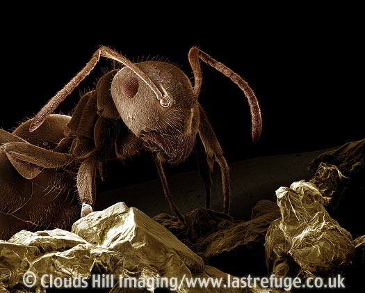Scanning Electron Micrograph (SEM): Black garden ant (Lasius niger) carrying an Aphid egg in jaws