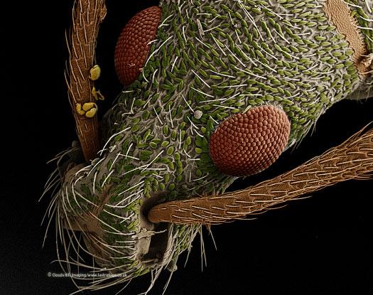 Scanning Electron Micrograph (SEM): Leaf Weevil, Phyllobius sp