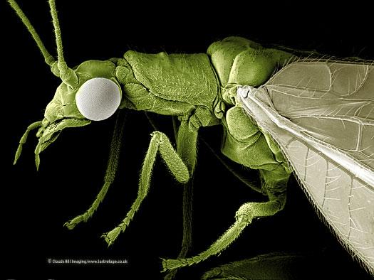 Scanning Electron Micrograph (SEM): Green Lacewing, Chrysoperla carnea