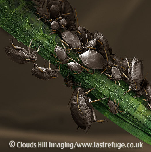 Scanning Electron Micrograph (SEM): Black Aphid (Aphis fabae) feeding on plant stem.