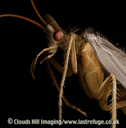 Scanning Electron Micrograph (SEM): Caddis Fly (Order Trichoptera)
