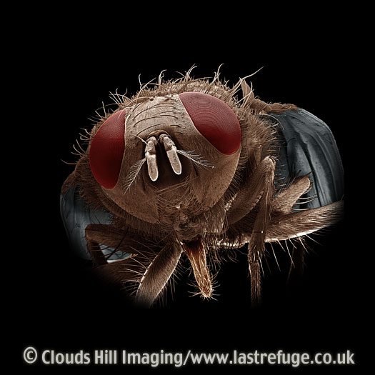 Scanning Electron Micrograph (SEM): House Fly (Musca domestica)