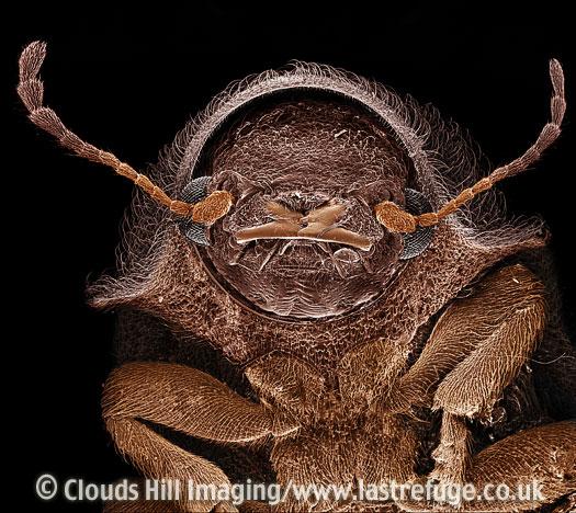 Scanning Electron Micrograph (SEM): Deathwatch Beetle, Xestobium villosum