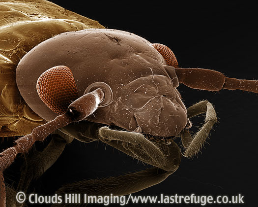 Scanning Electron Micrograph (SEM): Earwig, Forficula auricularia - close-up head