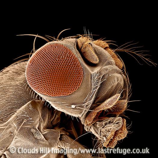 Scanning Electron Micrograph (SEM): Fruit fly, Drosophila melanogaster