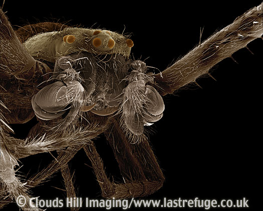 Scanning Electron Micrograph (SEM): Garden Spider, Araneus diadematus - male close-up showing palps