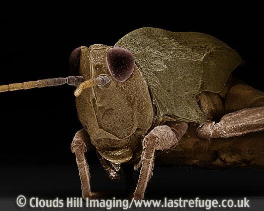 Scanning Electron Micrograph (SEM): Common Field Grasshopper, Chorthippus brunneus