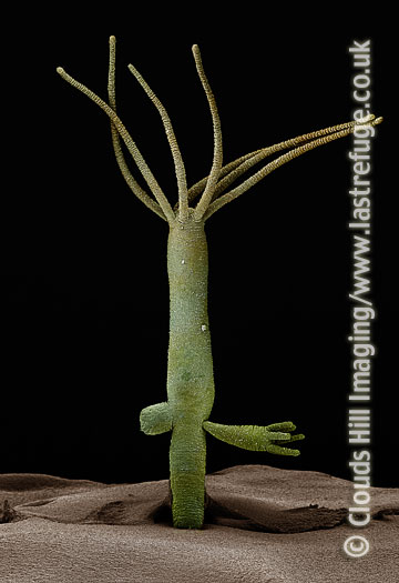 Scanning Electron Micrograph (SEM): Hydra with bud and juvenile