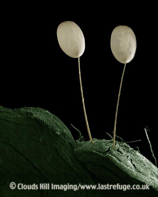 Scanning Electron Micrograph (SEM): Eggs of Green Lacewing, Chrysoperla carnea