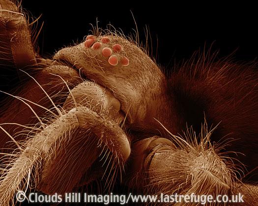 Scanning Electron Micrograph (SEM): Common House Spider - female, Tegenaria domestica