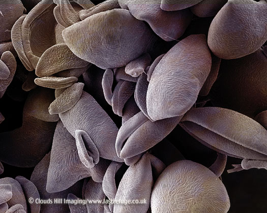 Scanning Electron Micrograph (SEM): Lily Pollen, Lilium sp.