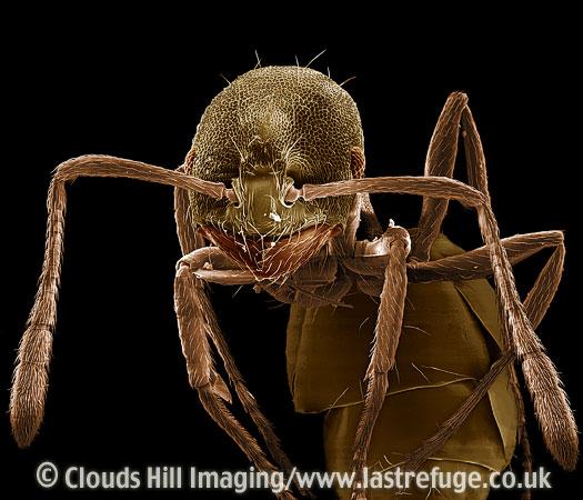 Scanning Electron Micrograph (SEM): Pharaoh Ant, Monomorium pharaonis