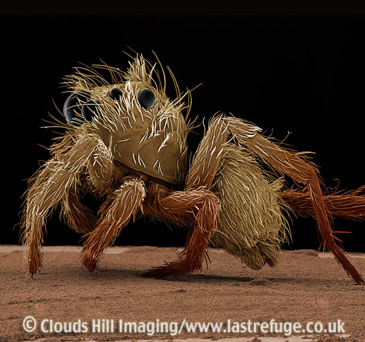 Scanning Electron Micrograph (SEM): Jumping Spider, Portia sp.