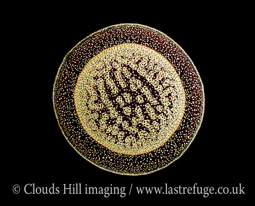Light Micrograph (LM): A transverse section of an aerial root from a Pandanus sp; Magnification x30 (if print 10.5 cm wide)