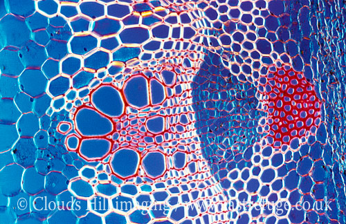 Light Micrograph (LM): A transverse section shows Vascular Bundle in Helianthus stem; Magnification x600 (if print 10.5 cm wide)