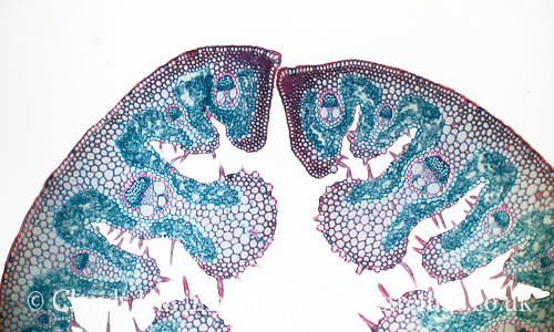 Light Micrograph (LM): Transverse section of a leaf of Marram Grass (Ammophila sp.); Magnification x300 (if print 10.5 cm wide)