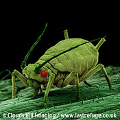 Green aphid bean