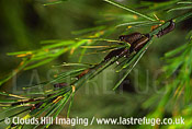 pine moth larvae on pine leaves