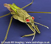 Pondskater Gerris lacustris hunts insects on water surface.coloured