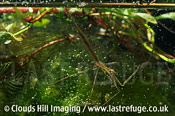 Water stick insect