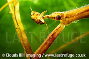 Water stick insect (Ranatra linearis) eating a small water beetle