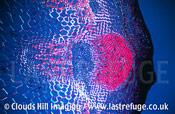 Vascular bundle Helianthus
