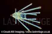Echinopluteus larva