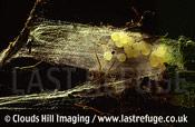 Spider eggs in silk cocoon