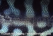 Fish skin, dorsal aspect