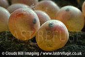 Brown Trout eggs (Salmo trutta)