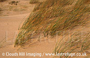 Marram grass on dunes (Archachon, France)