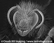 Bumblebee (Bombus terrestris) portrait showing jaws