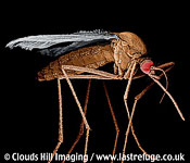 Culex mosquito. Female feeds on blood, is a vector in many diseases. Parasite insect.coloured