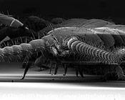 Centipede portrait. (Lithobius forficatus)