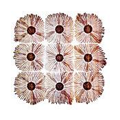 Patterns of Paenibacillus bacteria: Macro Photograph: Patterns of Paenibacillus bacteria on petri dish - T type (tip-splitting morphotype); magnification x5.6 (A4 size: 29.7 cm width)