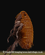 Scanning Electron Micrograph (SEM): Oriental Rat Flea, Xenopsylla cheopis