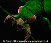 Scanning Electron Micrograph (SEM): Green Tiger Beetle, Cicindela campestris