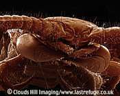 Scanning Electron Micrograph (SEM): Centipede Lithobius sp. Garden creature predator carnivore has poison claws developed from first pair of legs 17 pairs. Coloured