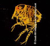 Dark Field Light Micrograph (LM): Chigoe Flea (Tunga penetrans): Dark field light microscopy