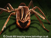 Scanning Electron Micrograph (SEM): Driver Ant, Dorylus sp.